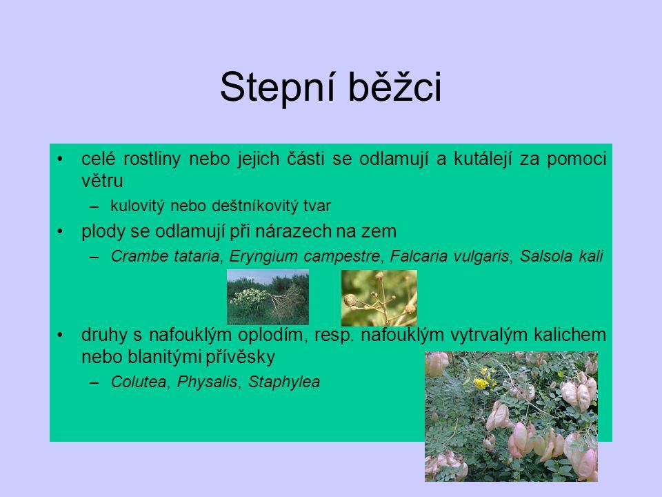 Stepní běžci celé rostliny nebo jejich části se odlamují a kutálejí za pomoci větru. kulovitý nebo deštníkovitý tvar.