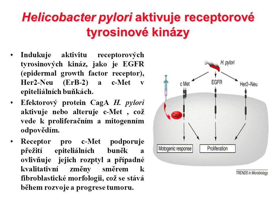 Helicobacter pylori aktivuje receptorové tyrosinové kinázy