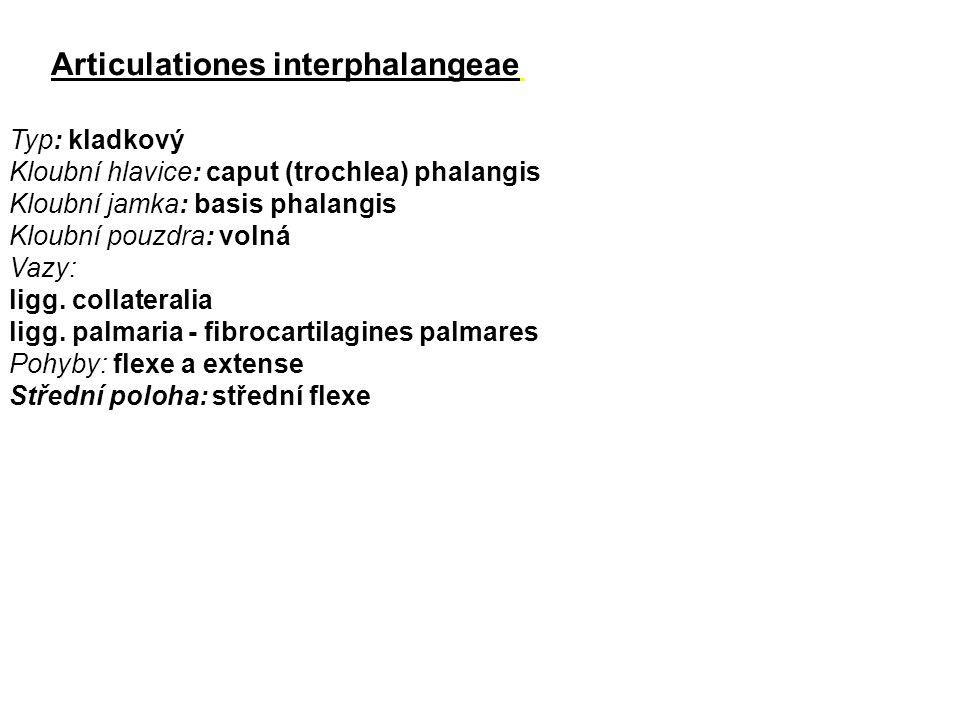 Articulationes interphalangeae