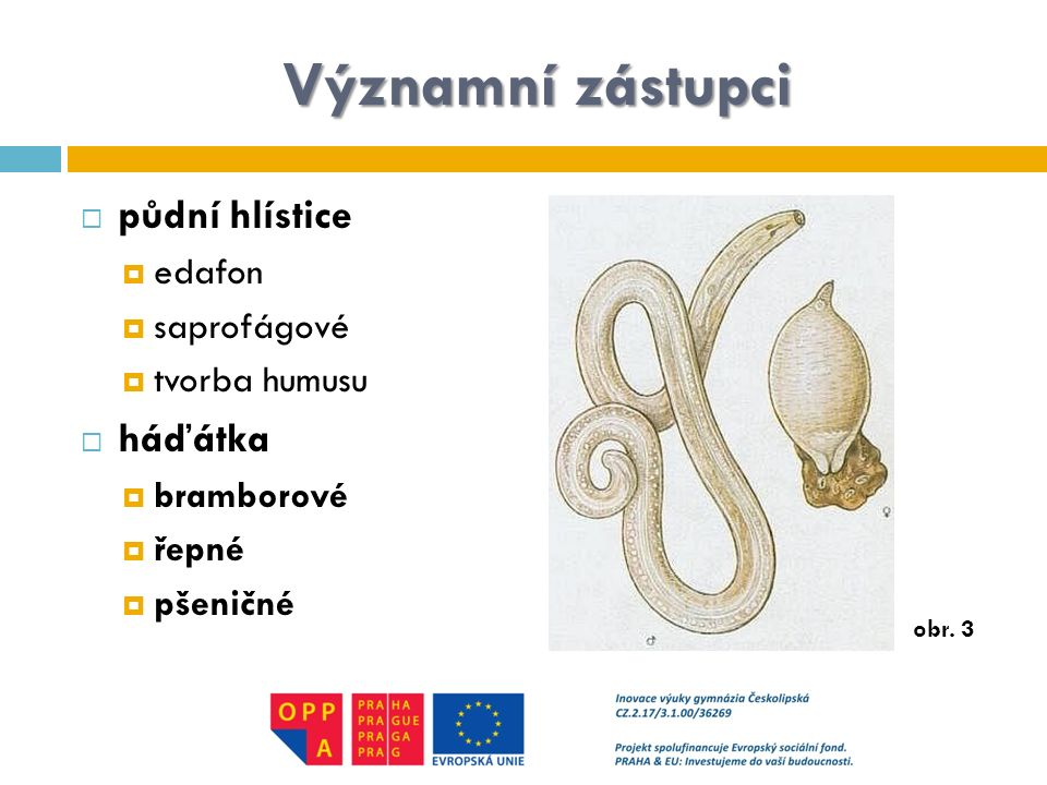 Významní zástupci půdní hlístice háďátka edafon saprofágové