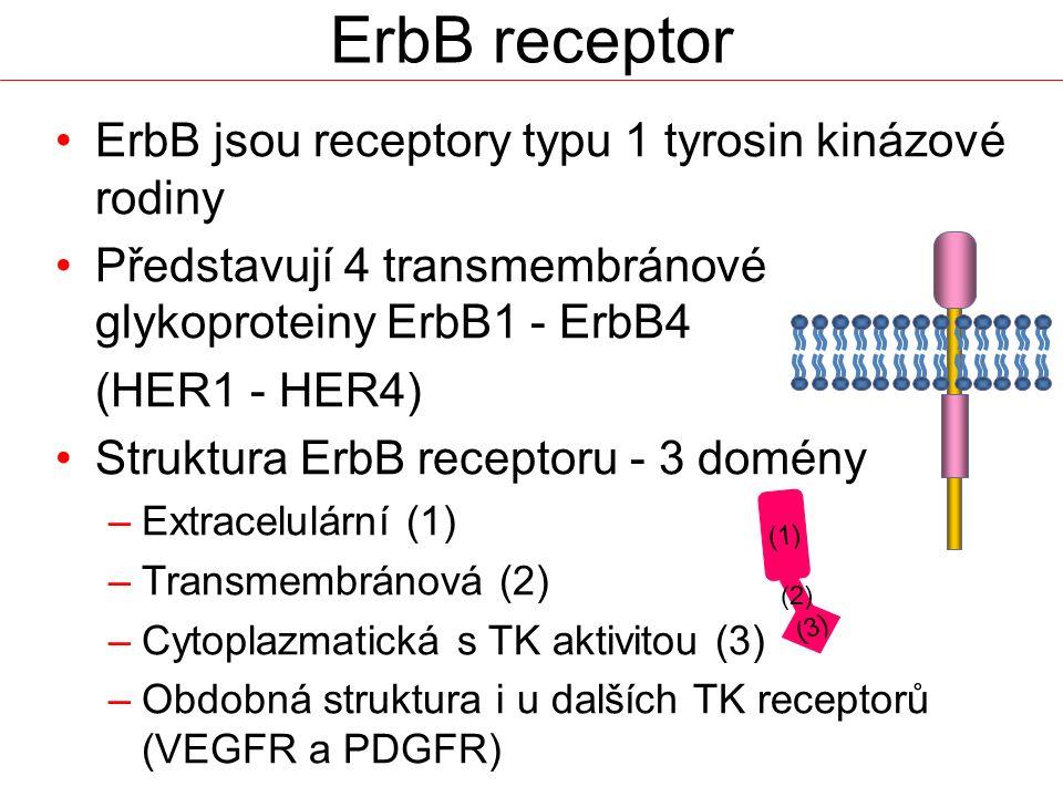 ErbB receptor ErbB jsou receptory typu 1 tyrosin kinázové rodiny
