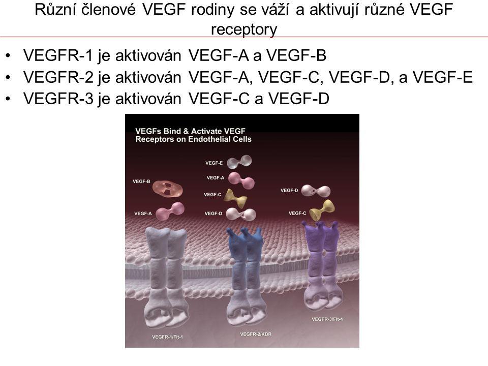 Různí členové VEGF rodiny se váží a aktivují různé VEGF receptory