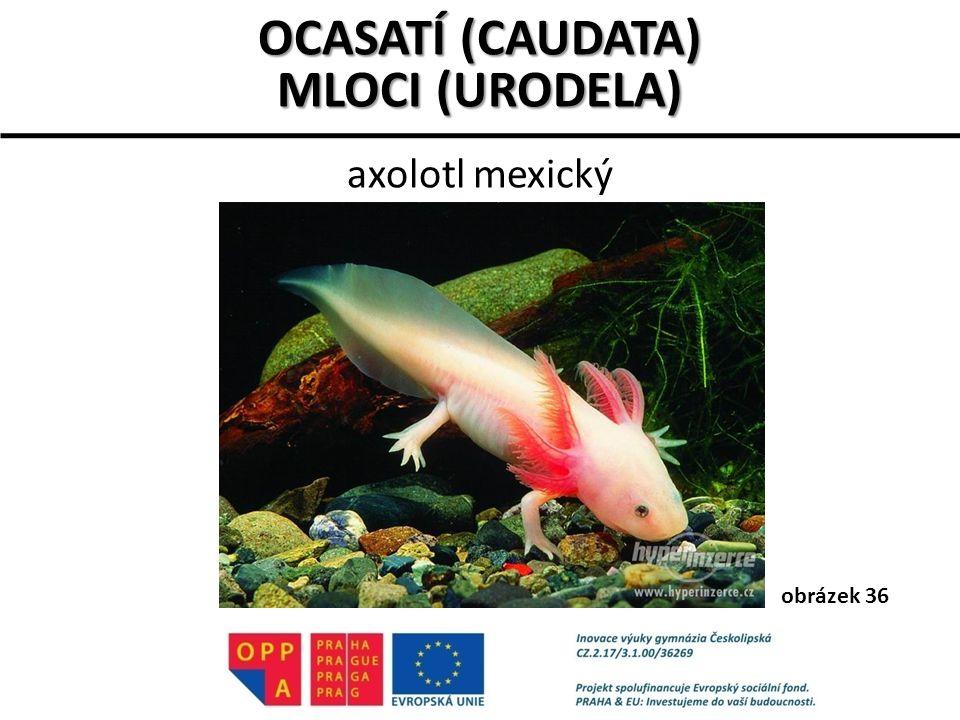 OCASATÍ (CAUDATA) MLOCI (URODELA)
