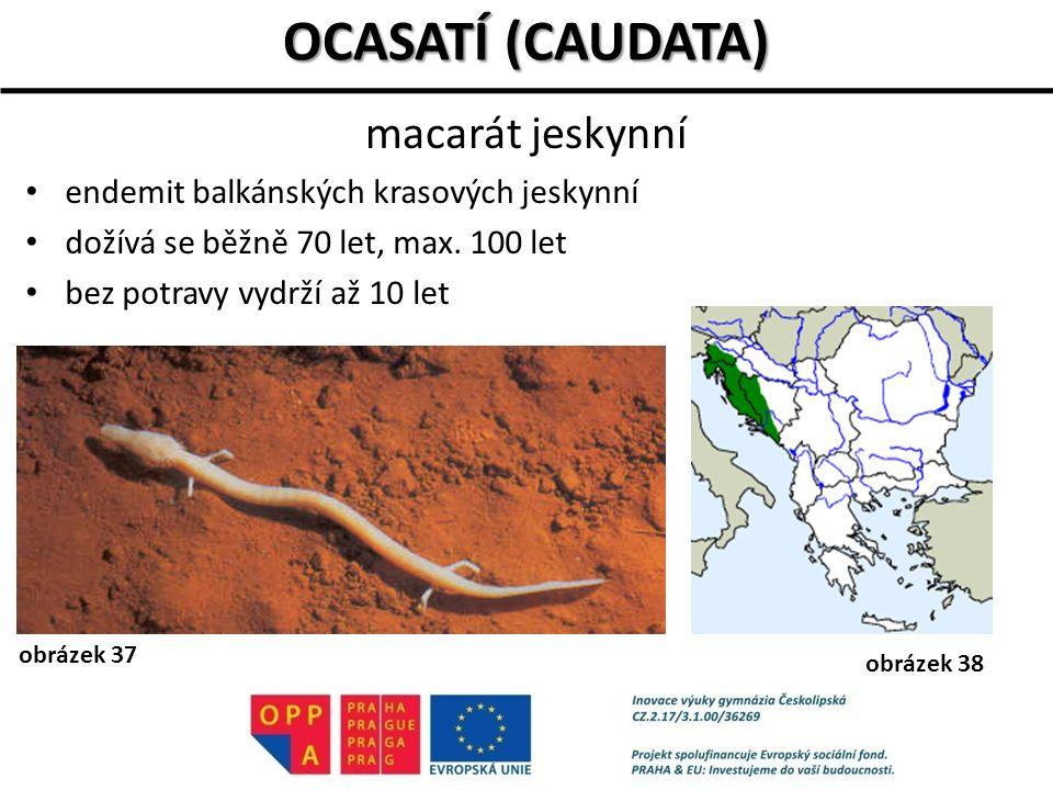OCASATÍ (CAUDATA) macarát jeskynní