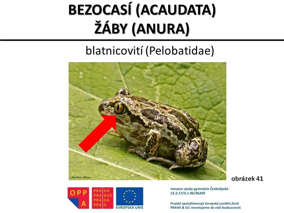 blatnicovití (Pelobatidae)