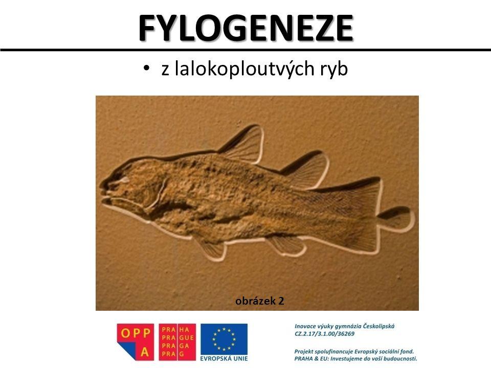 FYLOGENEZE z lalokoploutvých ryb obrázek 2