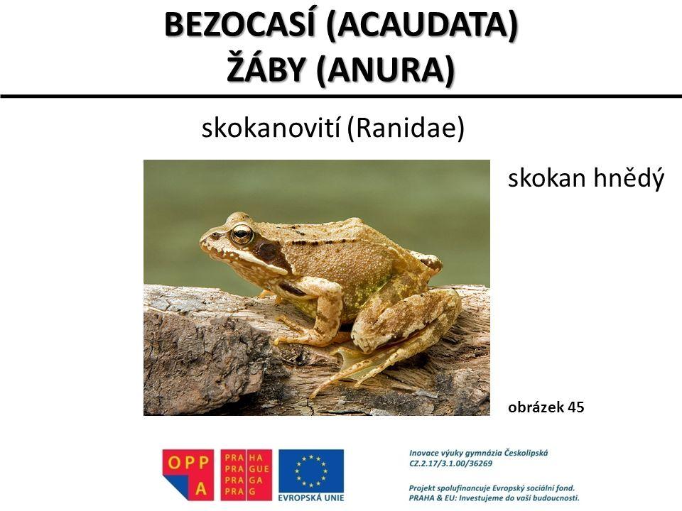 skokanovití (Ranidae)