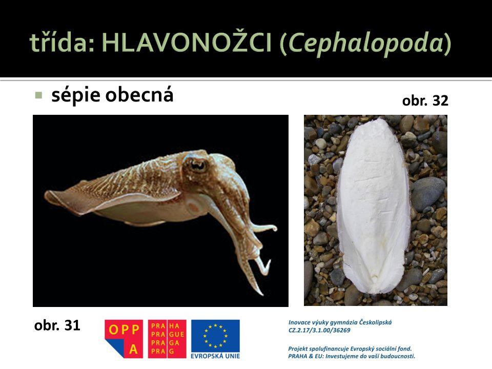 třída: HLAVONOŽCI (Cephalopoda)