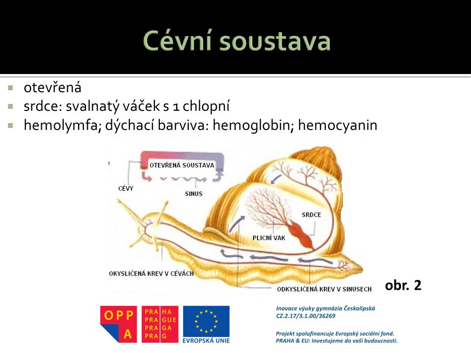 Cévní soustava otevřená srdce: svalnatý váček s 1 chlopní