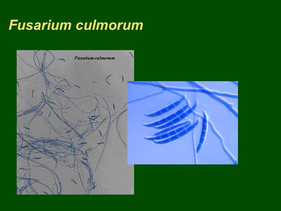 Fusarium culmorum