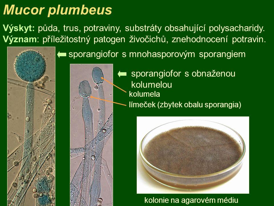 Mucor plumbeus Výskyt: půda, trus, potraviny, substráty obsahující polysacharidy. Význam: příležitostný patogen živočichů, znehodnocení potravin.