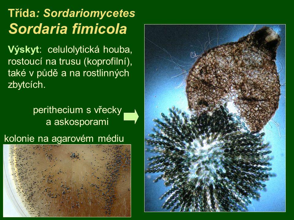 Třída: Sordariomycetes Sordaria fimicola