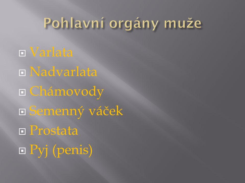 Pohlavní orgány muže Varlata Nadvarlata Chámovody Semenný váček