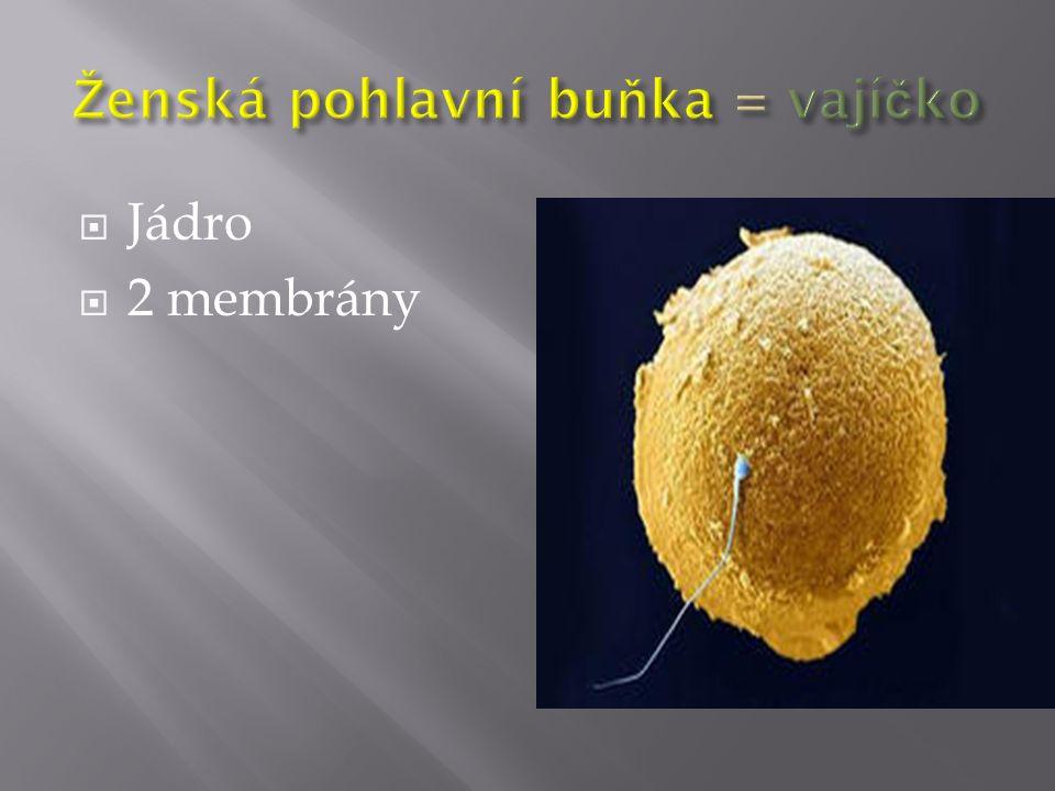 Ženská pohlavní buňka = vajíčko