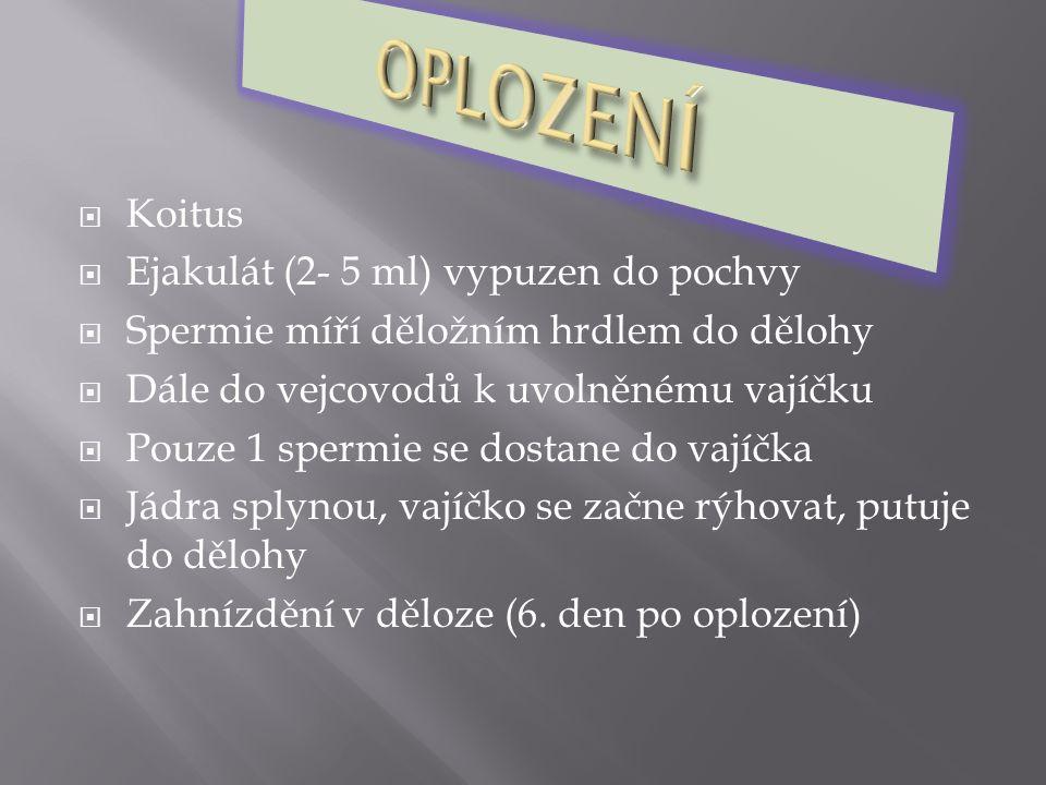OPLOZENÍ Koitus Ejakulát (2- 5 ml) vypuzen do pochvy