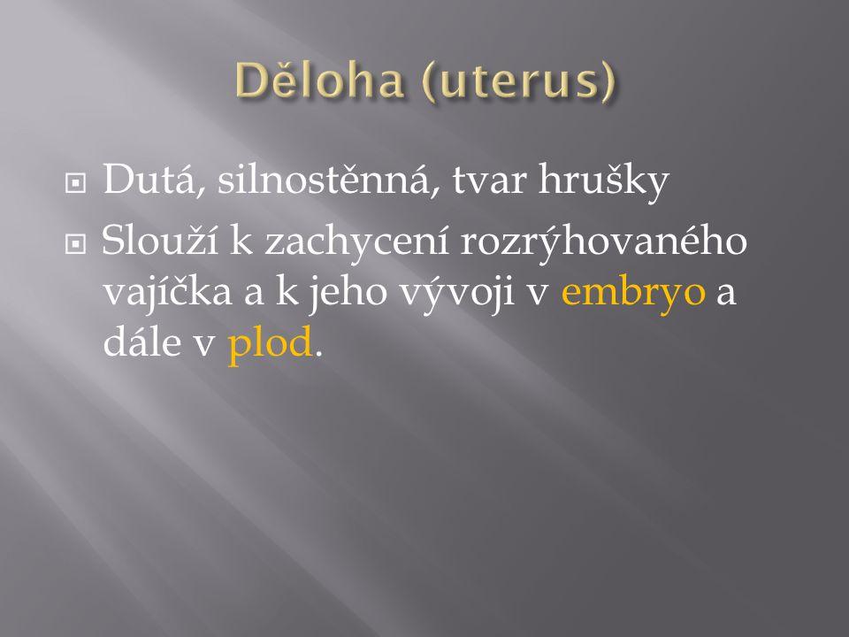 Děloha (uterus) Dutá, silnostěnná, tvar hrušky