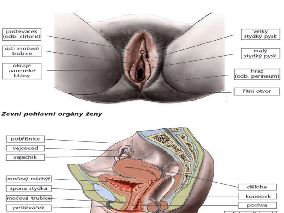 Zevní pohlavní orgány ženy