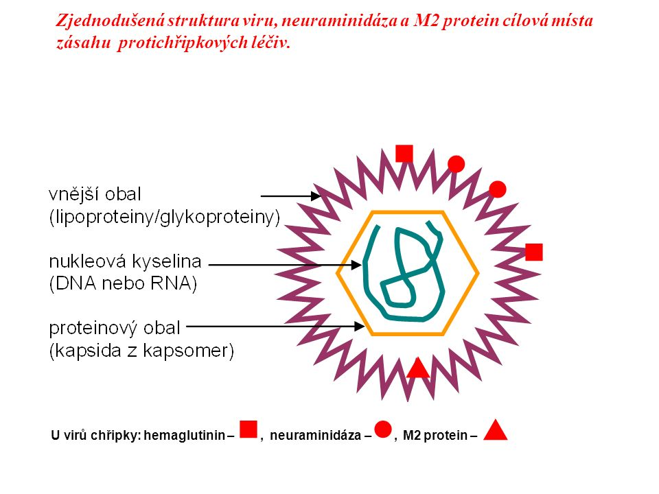 Zjednodušená struktura viru, neuraminidáza a M2 protein cílová místa zásahu protichřipkových léčiv.