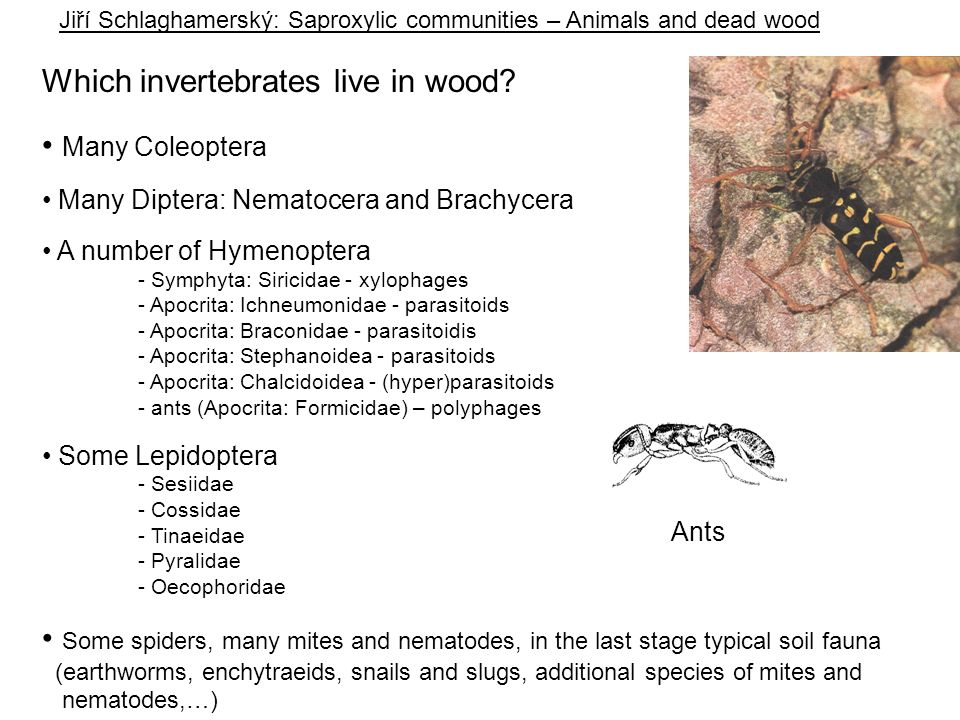 Which invertebrates live in wood Many Coleoptera