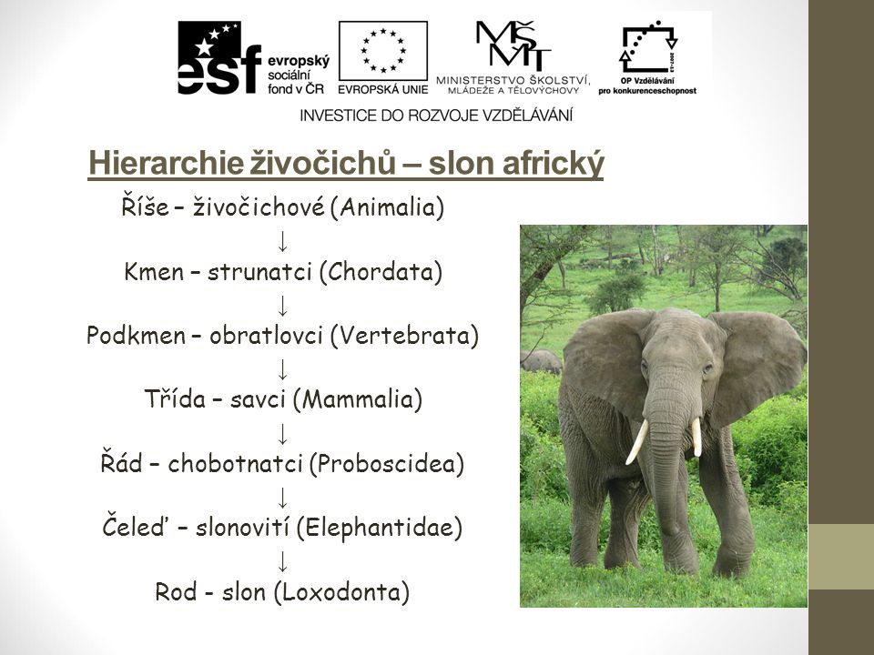 Hierarchie živočichů – slon africký