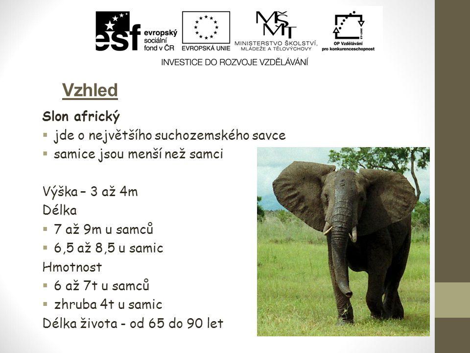 Vzhled Slon africký jde o největšího suchozemského savce
