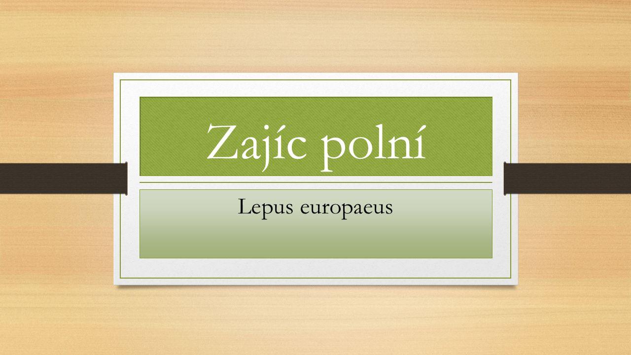 Zajíc polní Lepus europaeus