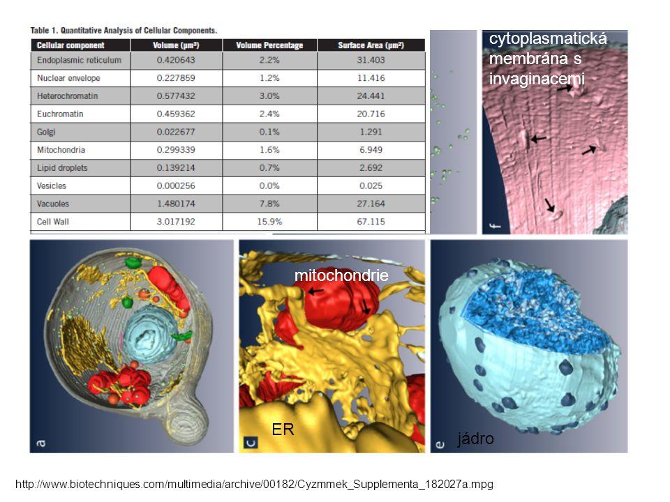 cytoplasmatická membrána s invaginacemi