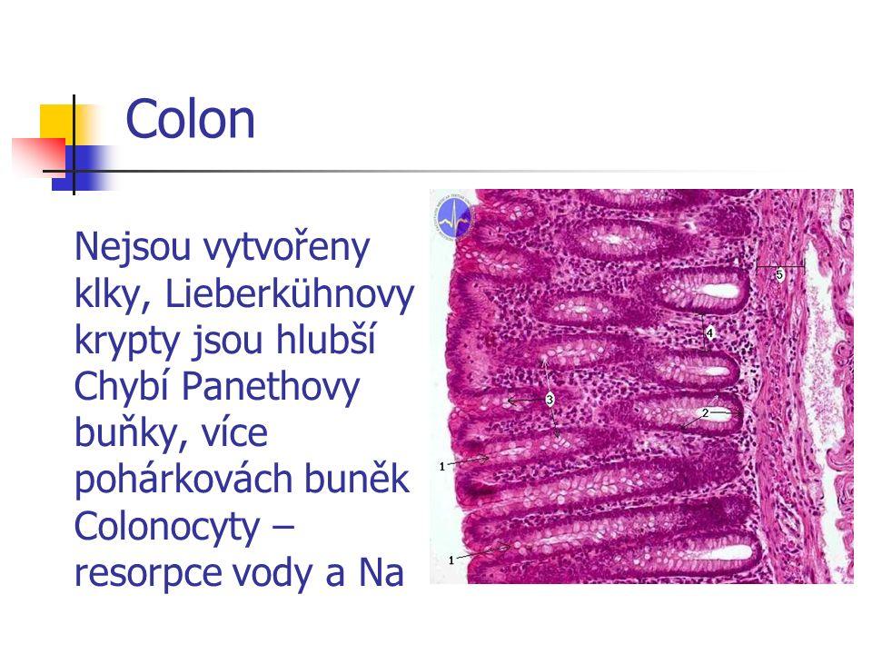 Colon Nejsou vytvořeny klky, Lieberkühnovy krypty jsou hlubší Chybí Panethovy buňky, více pohárkovách buněk Colonocyty – resorpce vody a Na.