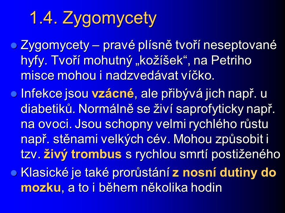 """1.4. Zygomycety Zygomycety – pravé plísně tvoří neseptované hyfy. Tvoří mohutný """"kožíšek , na Petriho misce mohou i nadzvedávat víčko."""