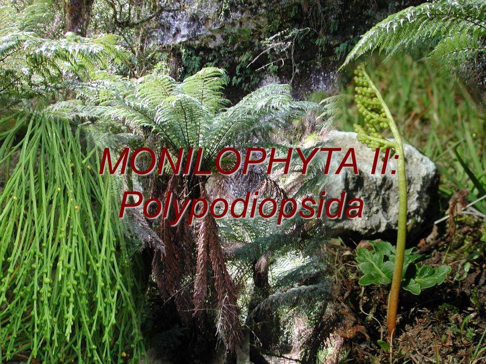 MONILOPHYTA II: Polypodiopsida