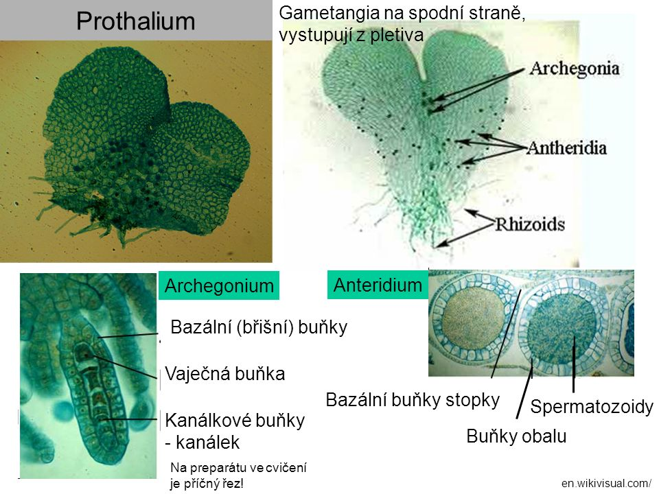 Prothalium Gametangia na spodní straně, vystupují z pletiva