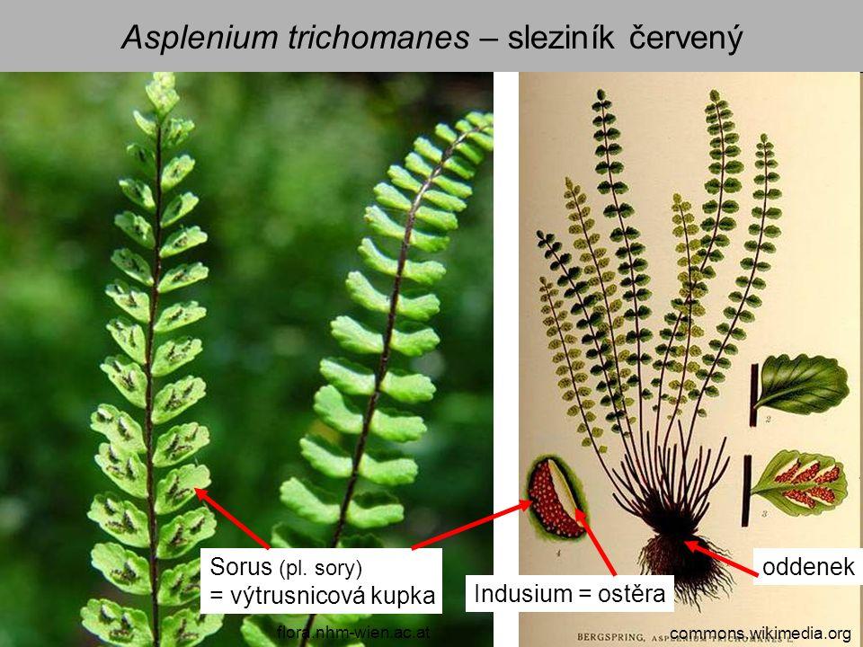 Asplenium trichomanes – sleziník červený