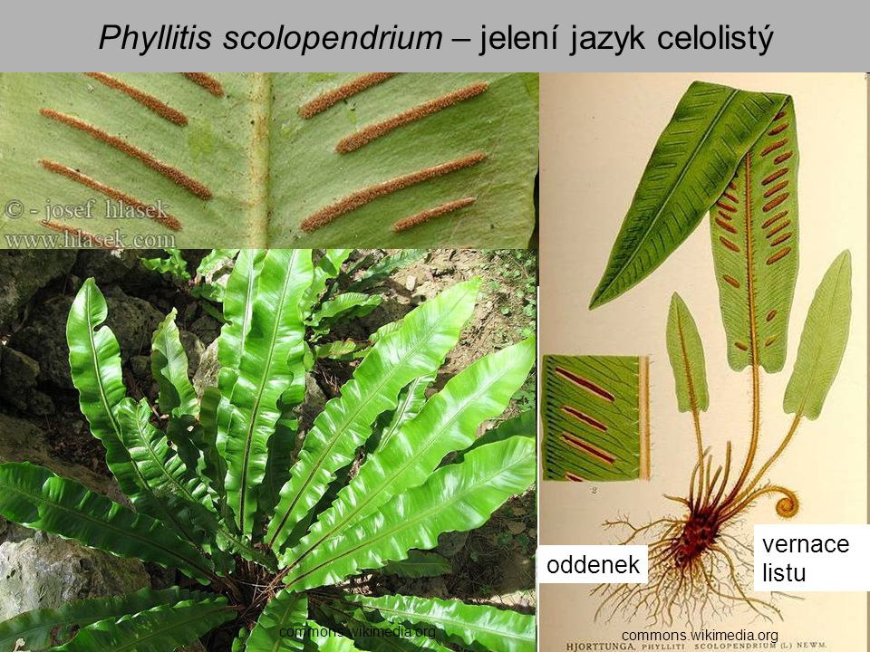 Phyllitis scolopendrium – jelení jazyk celolistý