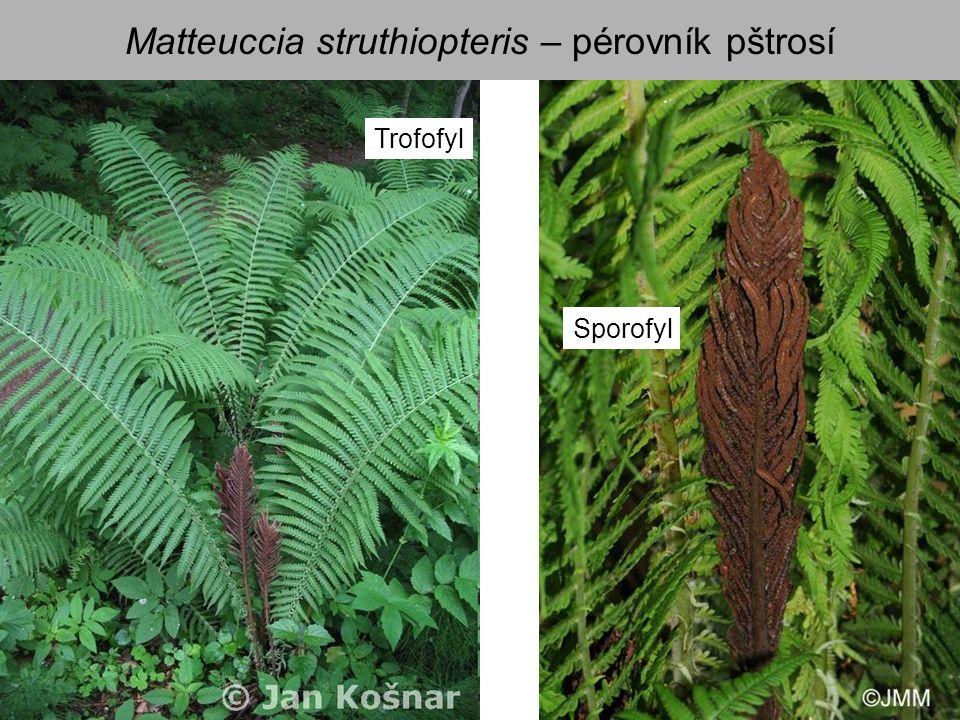 Matteuccia struthiopteris – pérovník pštrosí