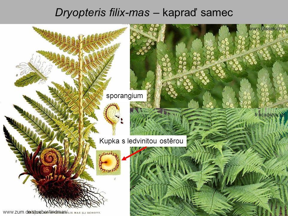 Dryopteris filix-mas – kapraď samec