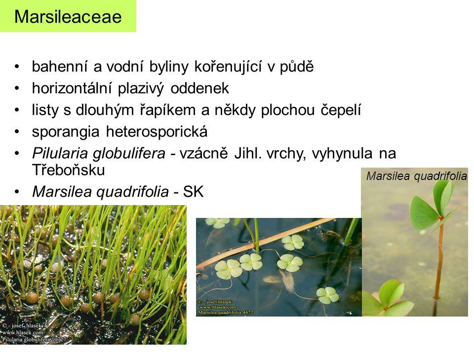 Marsileaceae bahenní a vodní byliny kořenující v půdě