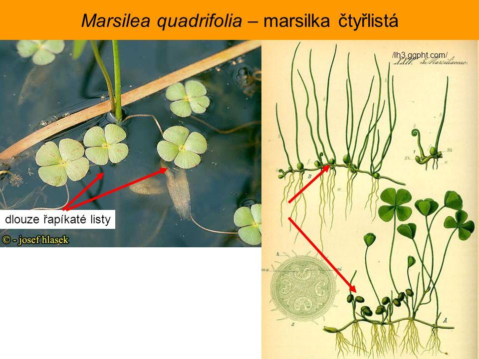 Marsilea quadrifolia – marsilka čtyřlistá