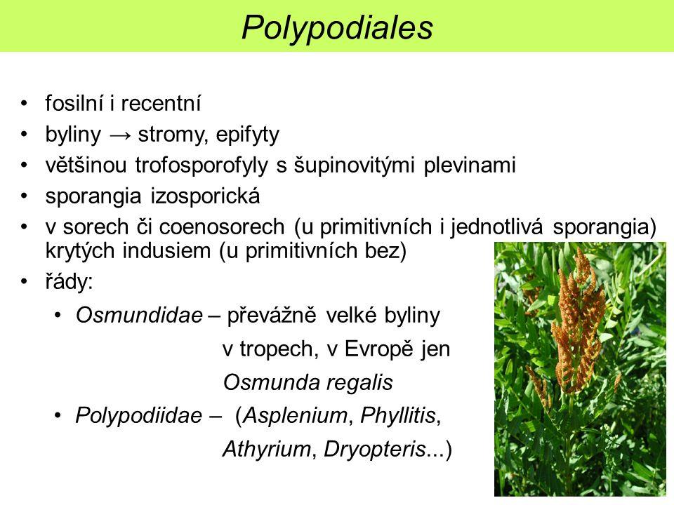 Polypodiales fosilní i recentní byliny → stromy, epifyty