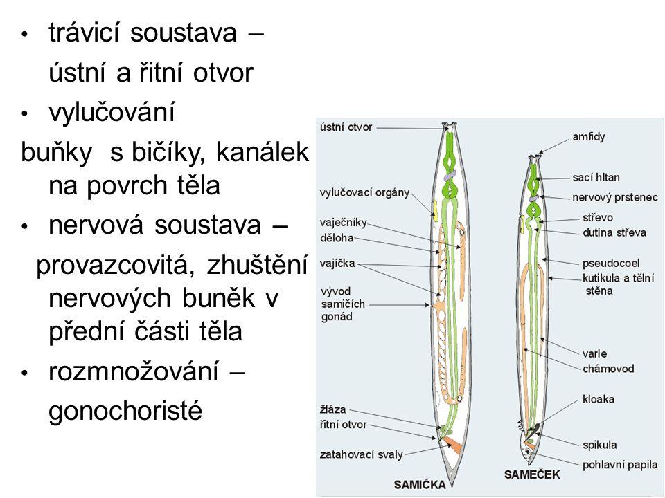 trávicí soustava – ústní a řitní otvor. vylučování. buňky s bičíky, kanálek na povrch těla. nervová soustava –
