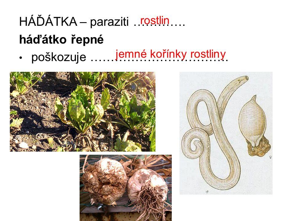 HÁĎÁTKA – paraziti …………. háďátko řepné poškozuje …………………………….