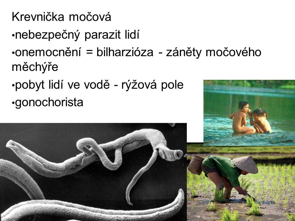 Krevnička močová nebezpečný parazit lidí. onemocnění = bilharzióza - záněty močového měchýře. pobyt lidí ve vodě - rýžová pole.