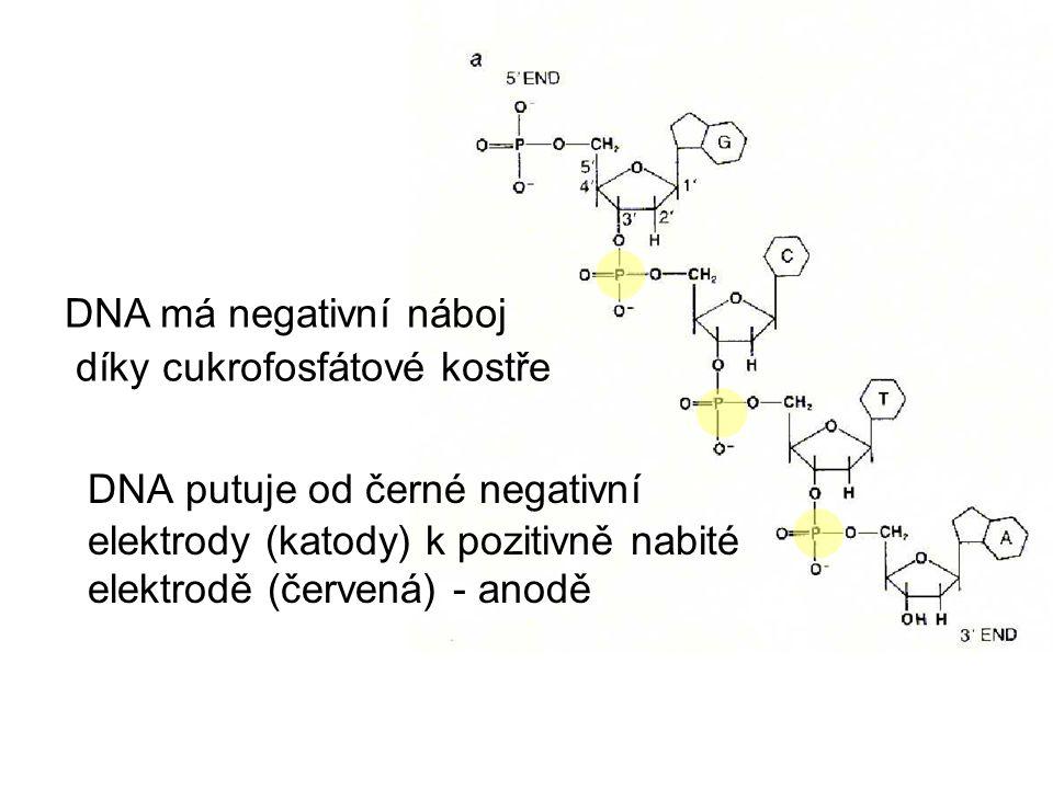 DNA má negativní náboj díky cukrofosfátové kostře.