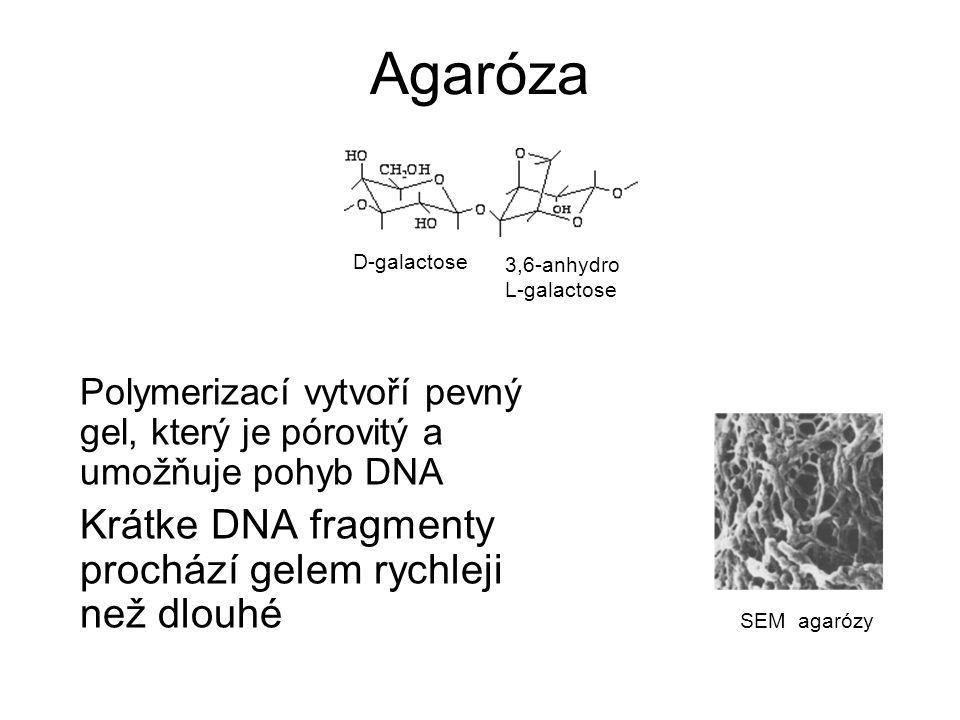 Agaróza Krátke DNA fragmenty prochází gelem rychleji než dlouhé