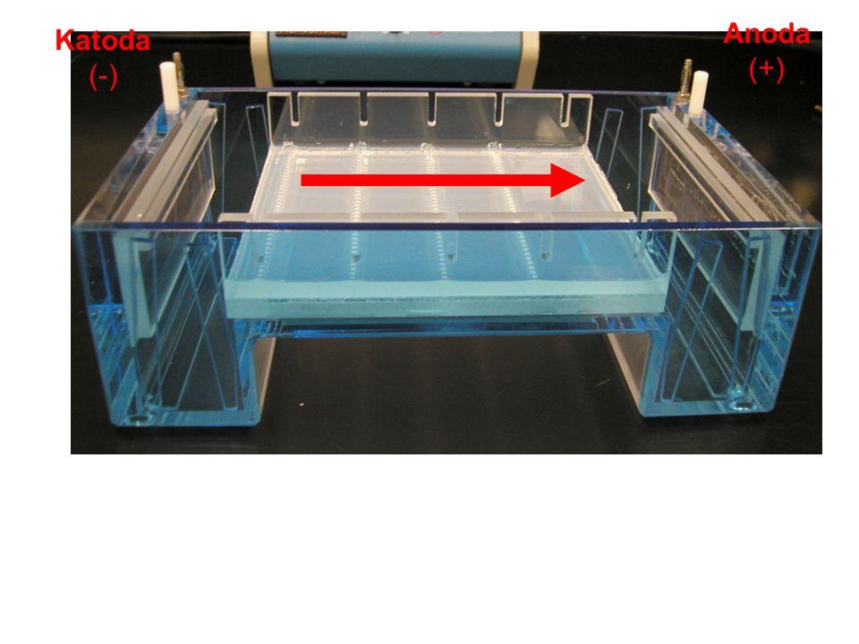 Anoda (+) Katoda (-) Place the gel in the electrophoresis tank (aka gel box).