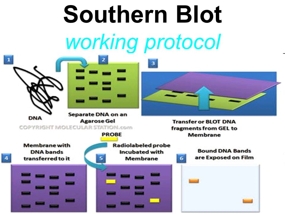 Southern Blot working protocol