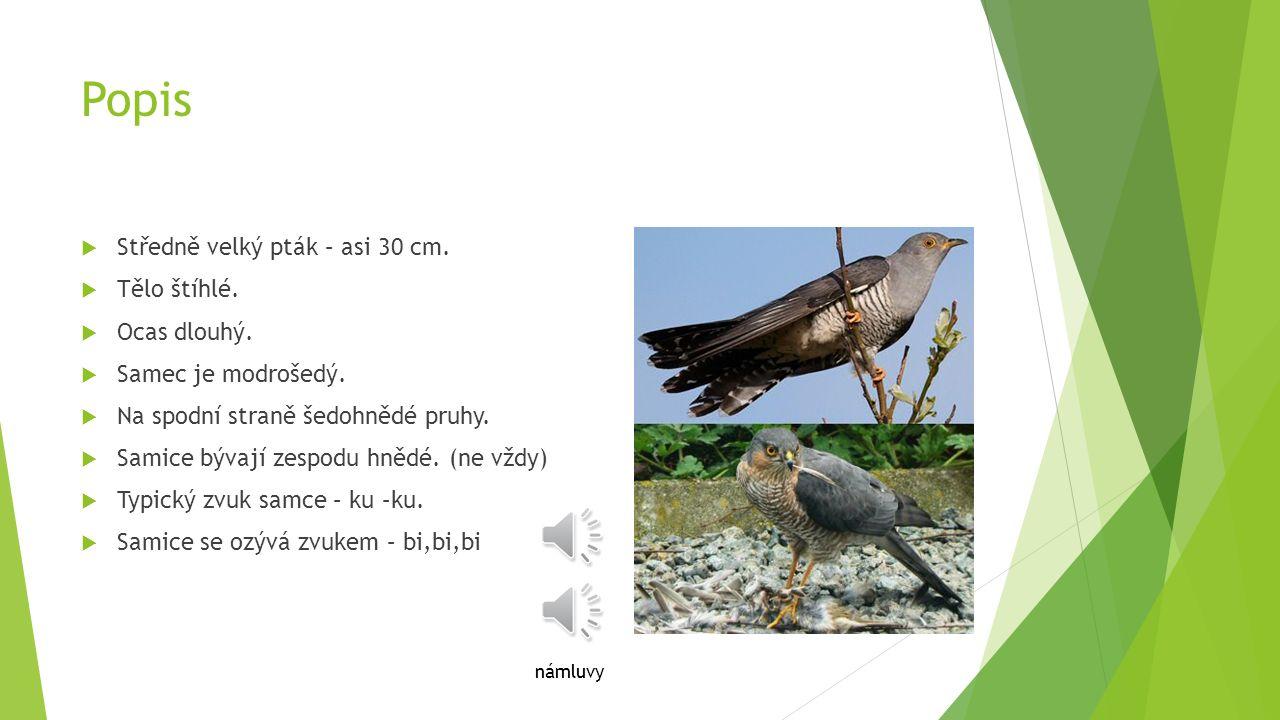 Popis Středně velký pták – asi 30 cm. Tělo štíhlé. Ocas dlouhý.