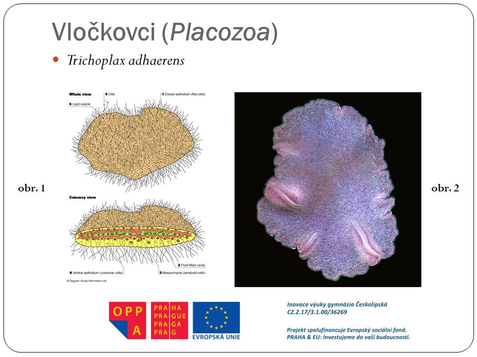 Vločkovci (Placozoa) Trichoplax adhaerens obr. 1 obr. 2