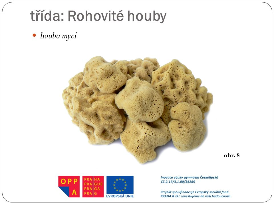 třída: Rohovité houby houba mycí obr. 8