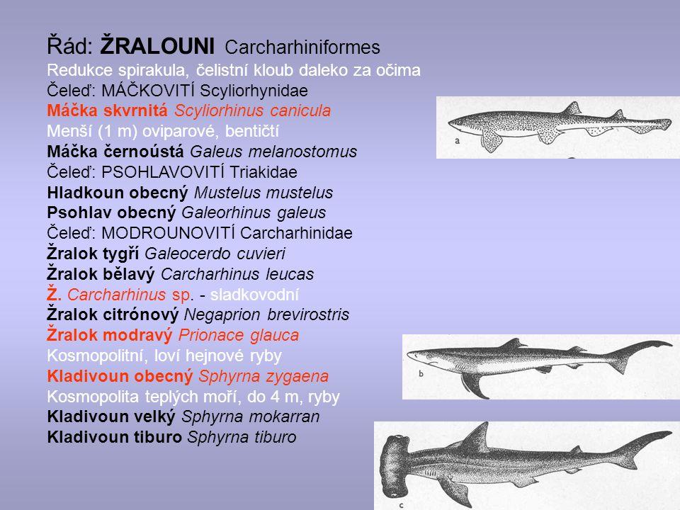 Řád: ŽRALOUNI Carcharhiniformes