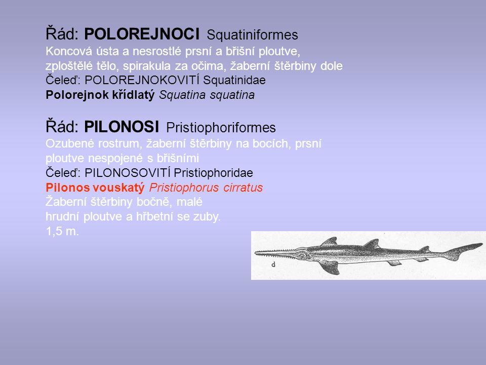 Řád: POLOREJNOCI Squatiniformes